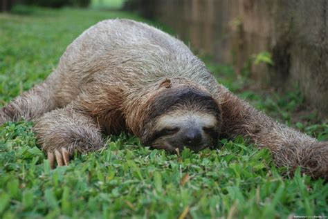Are Unkempt And Lazy About Grooming Apparently by Fighting Bacteria With Sloth Fur