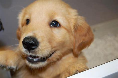 golden retriever breeders alabama golden retriever puppies baldwin county alabama photo