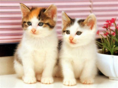 beautiful kittens lovable images cute cat wallpapers free download