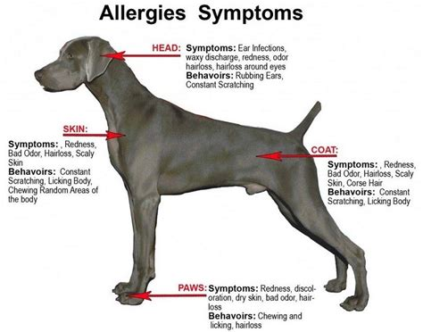 contact dermatitis in dogs skin problems pathogenic skin diseases in dogs