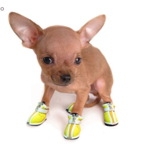 booties for dogs 20 best images about dogs wearing shoes on real puppys and for dogs