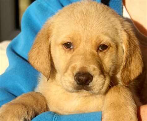 golden retriever cross puppies for sale golden retriever cross labradoodle pups for sale canonbie dumfriesshire pets4homes