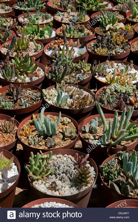 succulent planters for sale succulent plants for sale in the world s largest succulent nursery stock photo royalty free