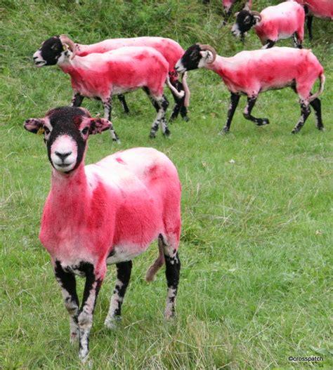 Sheep Pink pink sheep crosspatch