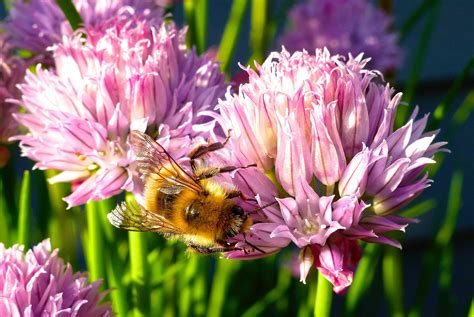 bees plant flowering herbs news
