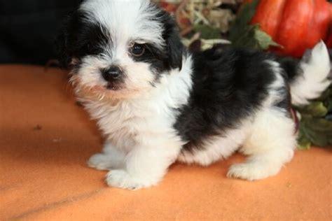 baby havanese puppies havanese baby