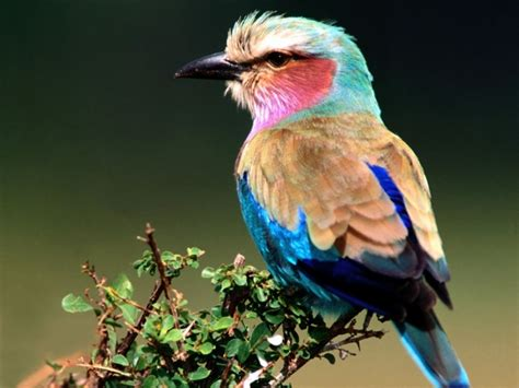 funny pictures gallery lilac and birds coracias caudatus singing wing aviary best pet bird