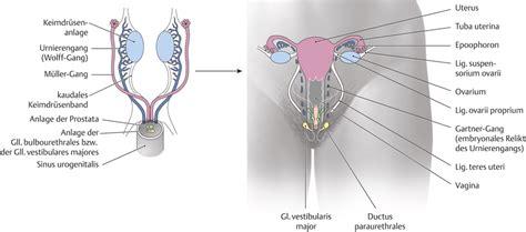 innere geschlechtsorgane pin weibliche geschlechtsorgane on