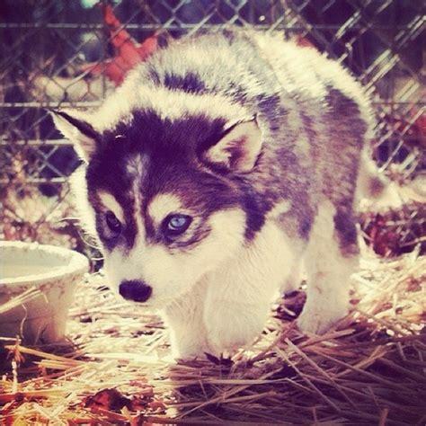 pomeranian x husky puppy pomsky puppy in san diego pomeranian x husky pomeranian siberian breeds picture