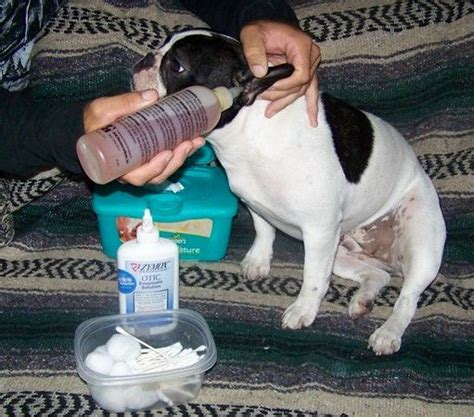 dogs jaw shaking 1000 ideas about ear infection on runny nose ear infection remedy and