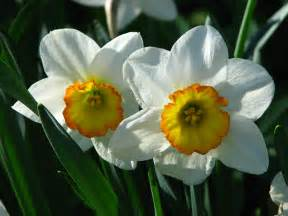 The Flower Daffodil - file narcissus flower record 01 jpg