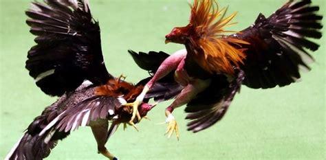 Trik Menang Bermain Sabung Ayam   Daftar SBOBET Asia