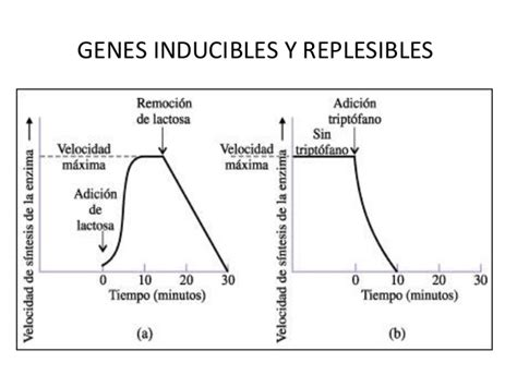 inductor en biologia molecular inductor biologia molecular 28 images inductor y represor 28 images regulaci 243 n g 233