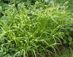stock photo carex grayi gray s sedge