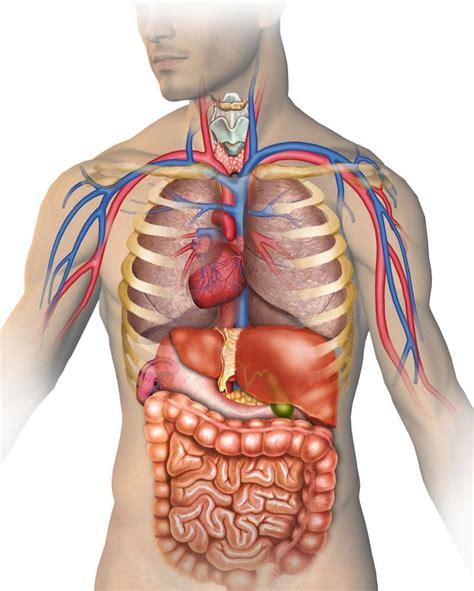 corpo umano anatomia organi interni il situs inversus totalis quando gli organi di torace e