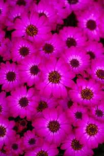 Hot Pink Spring Flowers