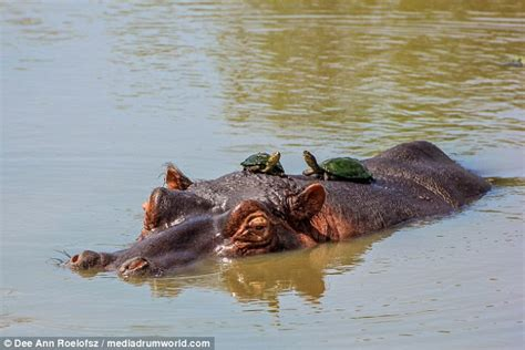 Hippo Top 1 photo shows hippo terrifying water bird as he emerges from the weeds daily mail