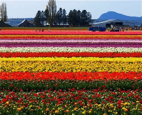 tulip fields wallpapers unlimited beautiful tulip fields in holland