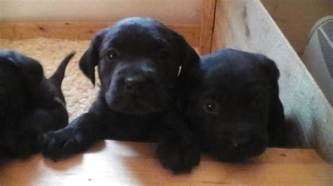 baby rottweilers for sale 2017 lovely rottweiler cross labrador puppies for sale temperament pictures