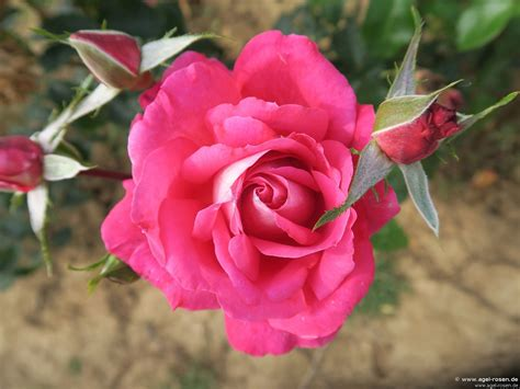 Blumen F R Schattige G Rten 997 by F 252 R Schattige Standorte De Tolbiac Kletterrose