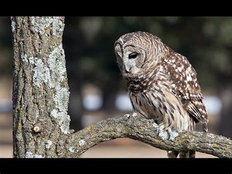 owl talk barred owls caterwauling youtube