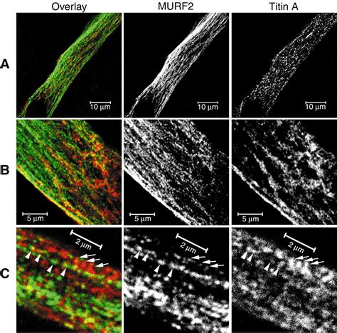 4 proteins associated with myofibrils transient association of titin and myosin with