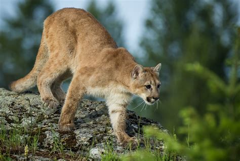 imagenes kitty pumas puma cougar mountain lion wild cat h wallpaper 2048x1375