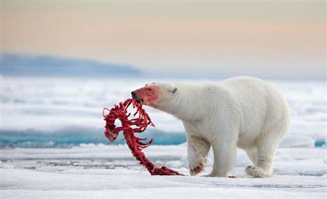 Kalung Gold Fish Bone 55401 polar cleans a carcass to the bone but leaves the intact natureismetal