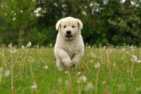 golden retriever puppy exercise golden retriever popular family dogs breeds expert