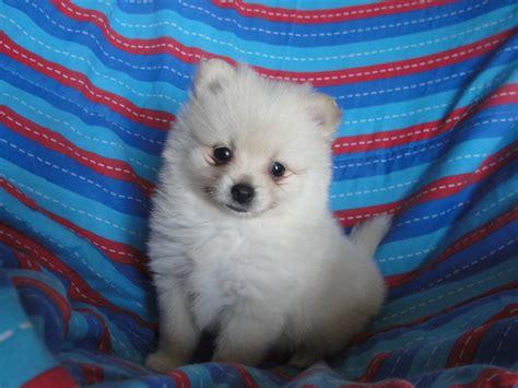 pomeranian puppies for sale in dakota dakota kennels pomeranian breeder hudson south dakota