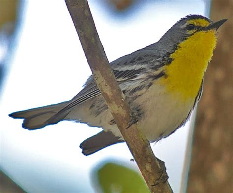 backyard bird identifier backyard bird identification warblers vireos