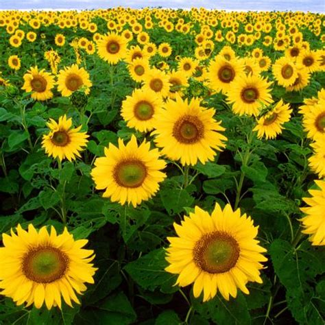 sunflower seed balls seed balls com
