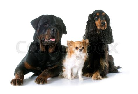 rottweiler cocker spaniel cocker spaniel rottweiler and chihuahua in front of white background stock photo