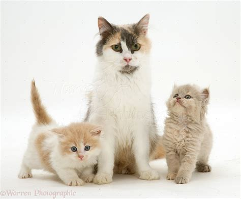 and kitten cat and two kittens photo wp11643