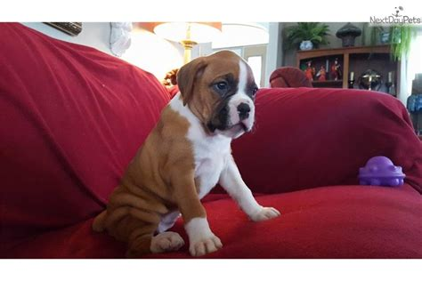 boxer puppies for sale in md boxer puppies for sale brown white boxer puppy for sale in baltimore md