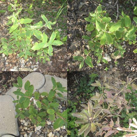 Goji Beeren Pflanzen Kaufen 25 by Goji Beere Pflanze Goji Beeren Lieferbar In Verschiedenen