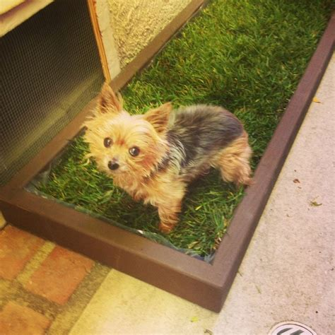 yorkie litter size and the city small litter box is a size for this yorkie see