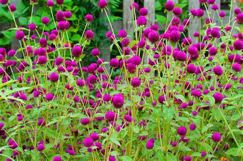amaranto fiore fiore dell amaranto di globo fotografia stock immagine