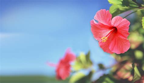 flower wallpaper new 2015 red hibiscus flowers hd wallpaper 2015