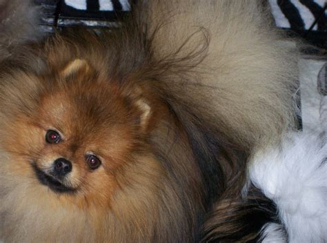 pomeranian breeders in michigan carlsonspomeranians pomeranian breeder foster city michigan