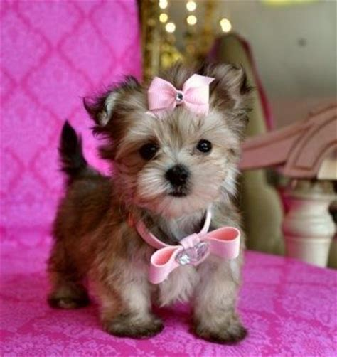 short haired pomeranian cross yorkie puppy belper 119 best images about teacup puppies on pinterest