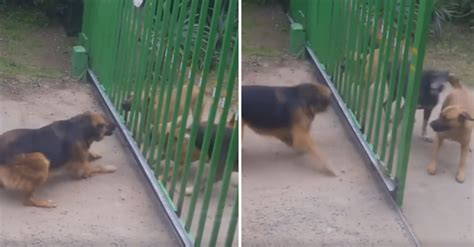 barks at other dogs dogs bark at each other through gate