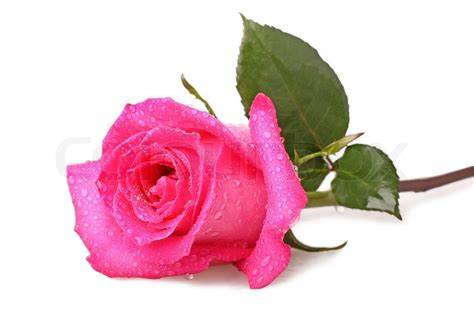 water drops on pink wild rose iowa pictures iowa pink rose with drops of water on a white background