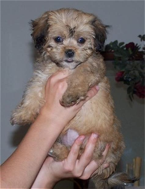 lhasa poo puppies lhasa poo lhasa apso poodle mix info temperament puppies pictures