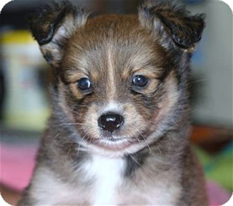 australian shepherd pomeranian mix for adoption maura adopted puppy santa ca pomeranian australian shepherd mix