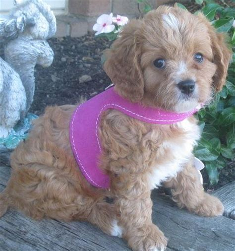 puppies for sale in ohio puppies for sale cavapoos poochons bichpoos yorkiechons in millersburg