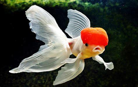 Anting Ikan Koki Goldfish 5 jenis ikan koki tercantik inilah yang paling dicari penggemarnya kuya hejo