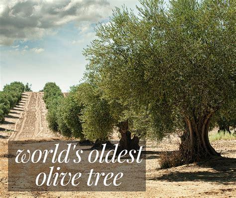 world s oldest world s oldest olive tree