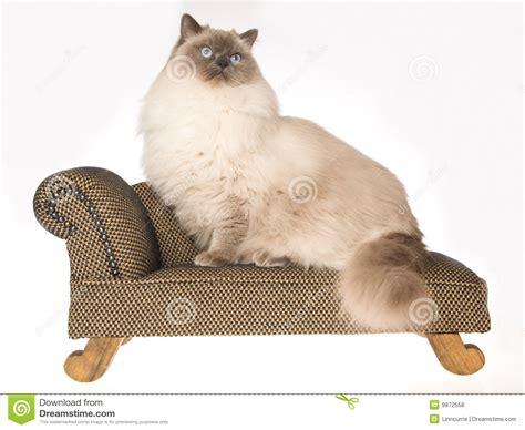 katze uriniert auf sofa sehr gro 223 e ragdoll katze die auf braunem sofa sitzt