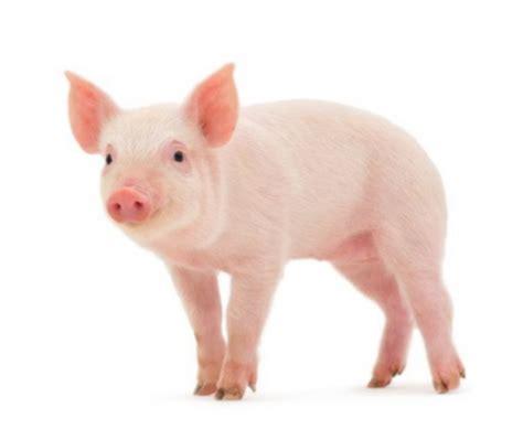cuisiner 駱aule de porc quelle viande de porc acheter la tendresse en cuisine